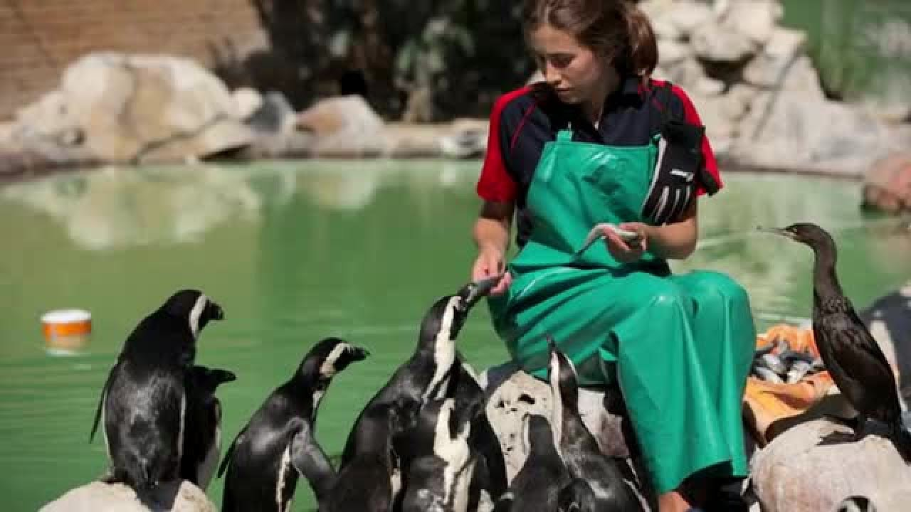 20 Years Ago AFRICAN PENGUIN RESCUE OPERATION 13