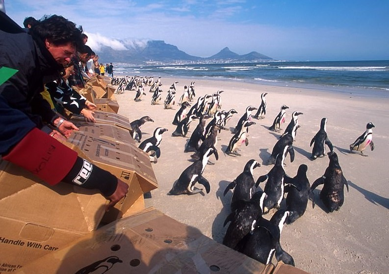 20 Years Ago AFRICAN PENGUIN RESCUE OPERATION 18