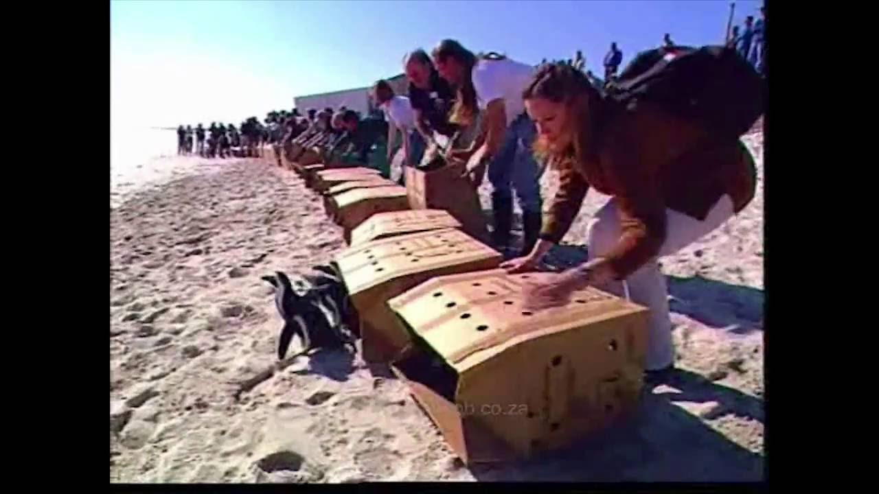 20 Years Ago AFRICAN PENGUIN RESCUE OPERATION 19