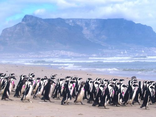 20 Years Ago AFRICAN PENGUIN RESCUE OPERATION 21