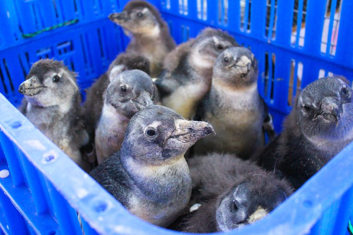 20 Years Ago AFRICAN PENGUIN RESCUE OPERATION 25