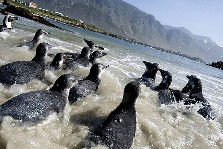 20 Years Ago AFRICAN PENGUIN RESCUE OPERATION 26