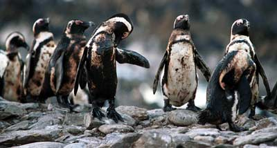 20 Years Ago AFRICAN PENGUIN RESCUE OPERATION 4