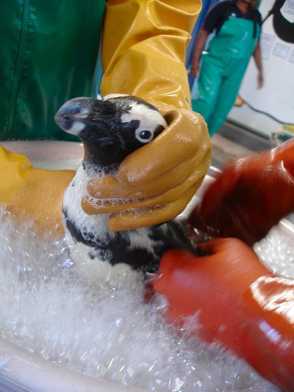 20 Years Ago AFRICAN PENGUIN RESCUE OPERATION 9
