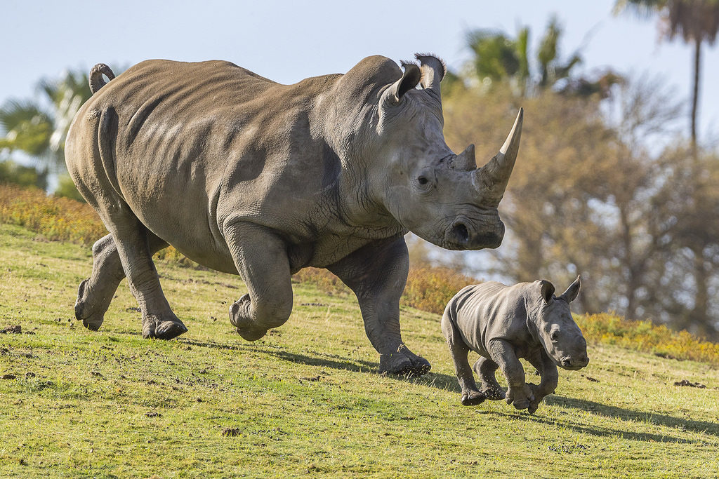 Rhinos Poaching and Conservation 2019 1