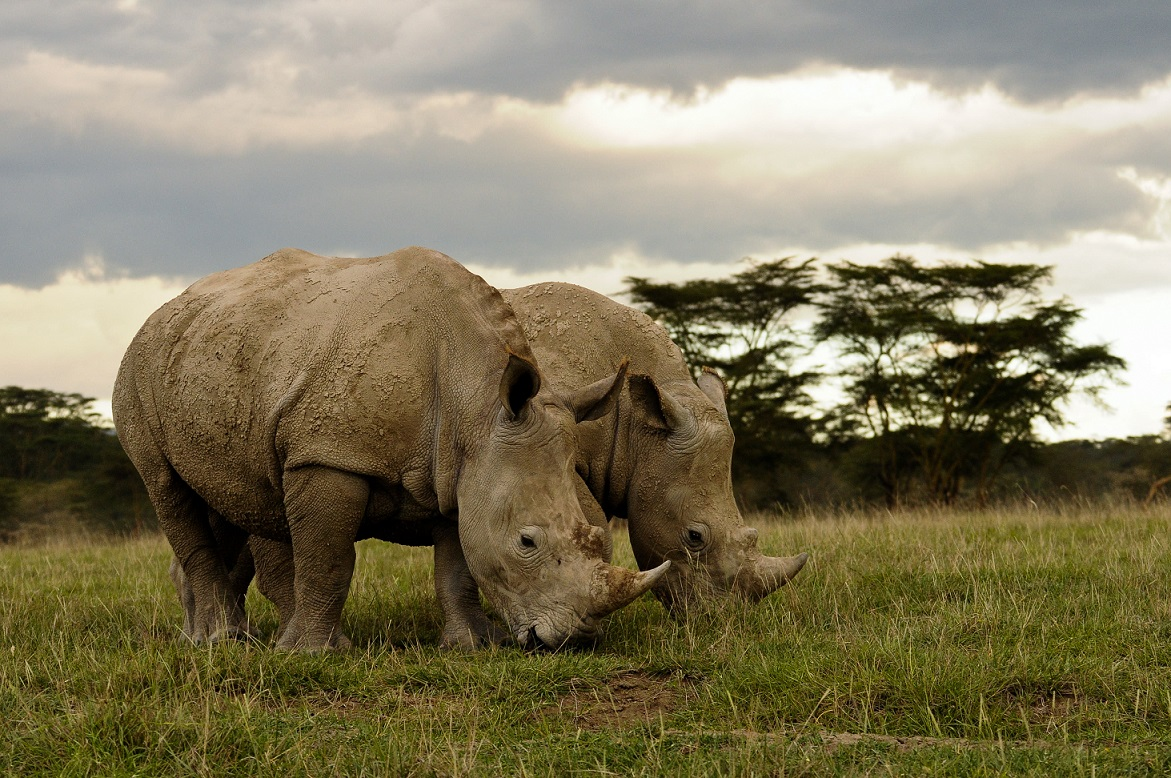 Rhinos Poaching and Conservation 2019 4